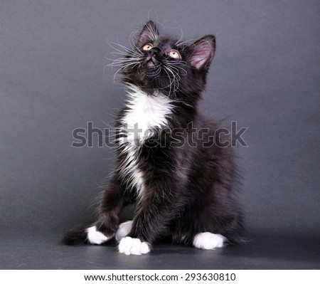 Small black and white cat with white fluffy whiskers looking up. Isolated on dark background. Studio shot. - stock photo