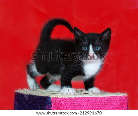 Small black and white kitten standing on red background