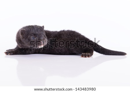 small black animal mink on a white background - stock photo