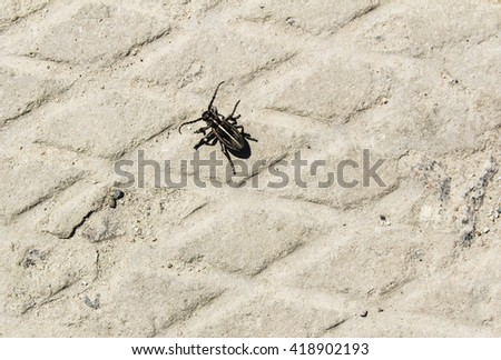 small black beetle with white stripe stands on the gray asphalt with pattern in the form of diamonds