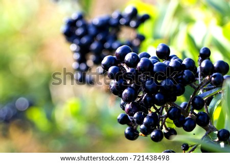 Small black berries surrounded by green plants on a sunny day.