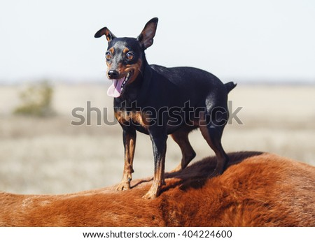 Small black brown dog are on the back of a red horse