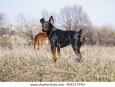 Small black brown dog standing in a field under a blue sky