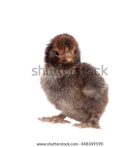 Small black chick isolated on white background - stock photo