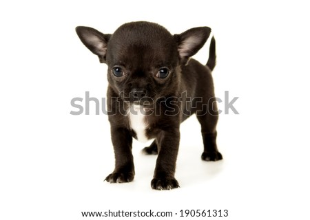 small black chihuahua puppy standing
