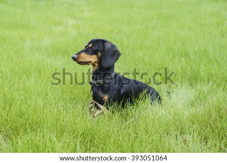 small black dachshund is in a bright green fresh grass