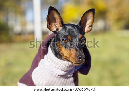 small black dog in jacket on autumn background