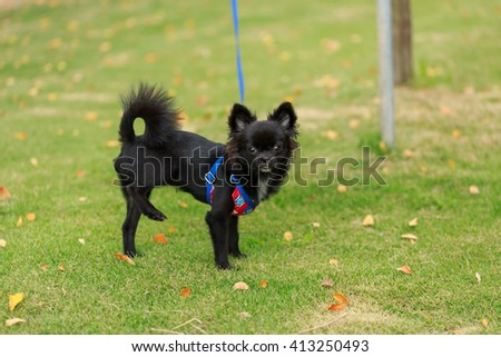 Small Black dog Lifting back paw