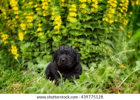 small black Labrador puppy lying in the garden under the beautiful yellow flowers - stock photo