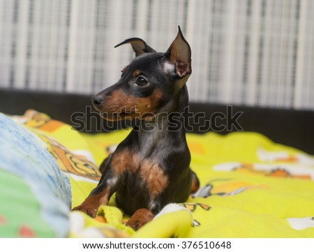 small black puppy lying on a bed on a yellow blanket
