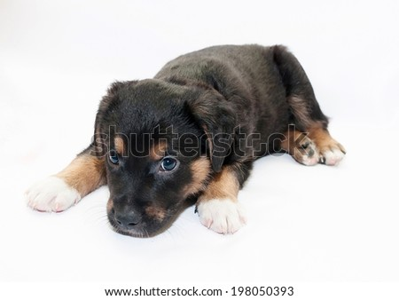 Small black puppy with brown spots looks sad on white background