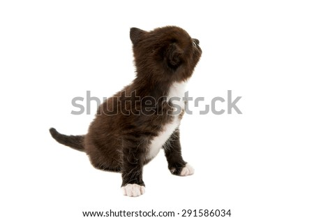 small black-white kitten on a white background