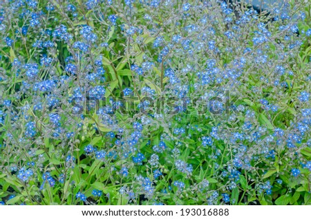 Small blue ciel flowers - stock photo