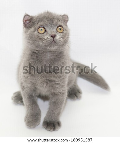 Small blue kitten Scottish Fold sitting looking up on gray-white background