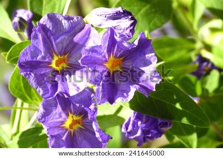 small blue purple blossom - stock photo