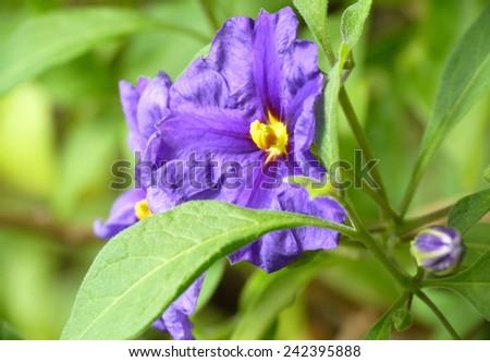 small blue purple blossom close up  - stock photo