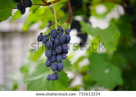 Small blue violet grapes, curly grape bunch decorates summer garden. beauty of a house, park. Round shape of berries, big leaves, daylight illuminates plants. Horizontal banner textured new background