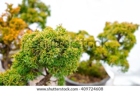 Small bonsai tree - stock photo