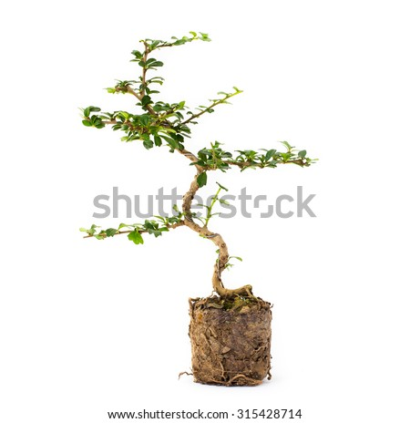 Small bonsai tree isolated on a white background, Informal upright style. with roots - stock photo
