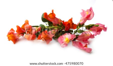 small bouquet of multicolored snapdragons