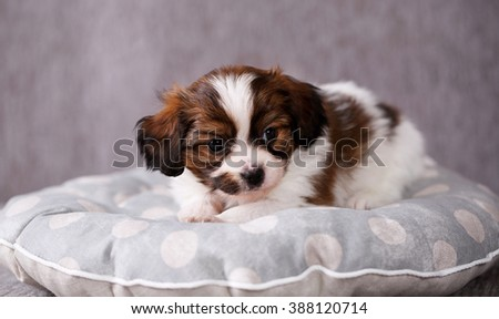 small breed puppy Papillon sweetly sleeping on pillow
