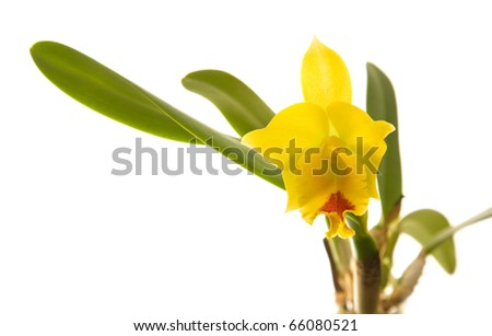 small bright yellow and red flowering cattleya orchid; isolated on white