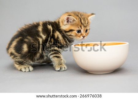 Small, British Kitten and a bowl of food, on a gray background - stock photo
