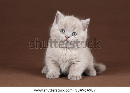Small British kitten on a brown background