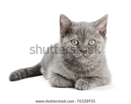 small british  kitten on the white background