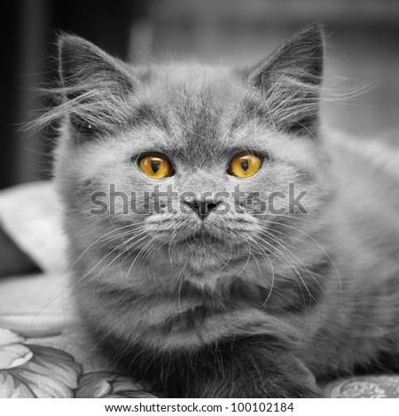 small british  kitten the age of 2 month - stock photo