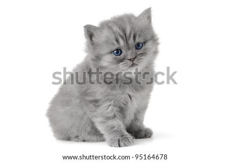 small british  kitten the age of 1 month on the white background