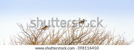 Small brown birds in Botswana, Africa, perch atop thorny bushes - stock photo