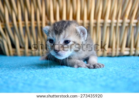 Small brown black striped tabby kitten on blue blanket in front of wicker basket - stock photo