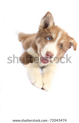 Small brown blue-eyed Husky breed
