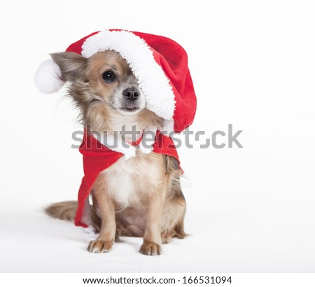 small brown chihuahua with big santa hat, optional, background white