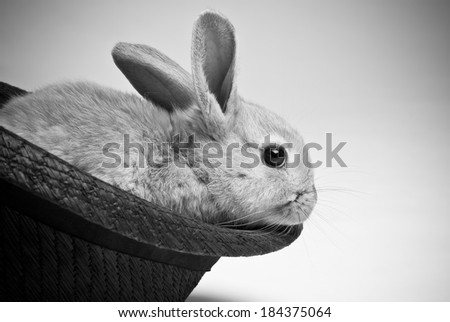 Small brown haired young easter bunnny rabbit sitting in black woven hat on neutral background, black and white - stock photo