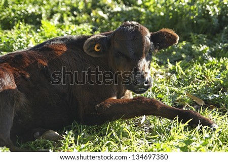 Small brown leather calf rests in meadow