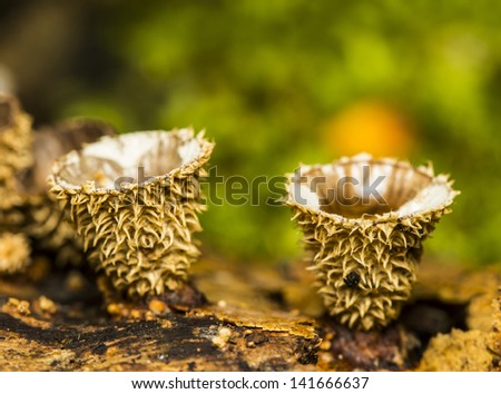 Small brown mushrooms cup on wood in the forest.