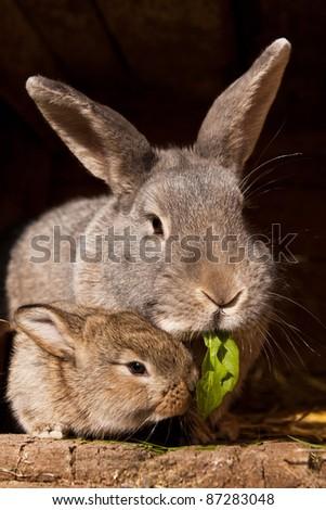 small brown rabbit with mum - stock photo