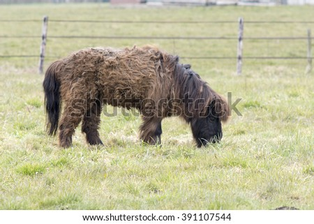 Small brown Shetland pony.