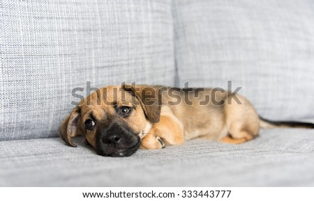 Small Brown Terrier Mix Puppy Falling Asleep on Gray Sofa
