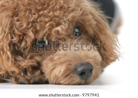 Small brown toy poodle with a black shirt and grey collar lying down