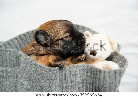 Small Brown Two Weeks Old Puppy Sleeping in Gray Sweater
