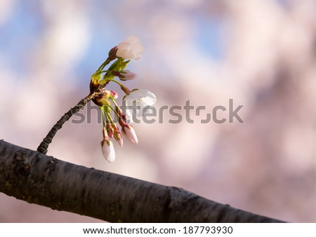 Small bunch of cherry blossom blooms growing from a twig with out of focus blossoms in the background - stock photo