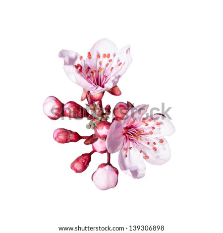 Small bunch of spring pink blossom isolated on white - stock photo