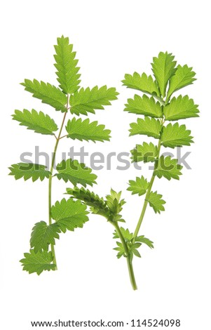 Small burnet (Sanguisorba minor), isolated against a  white background