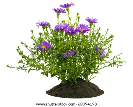 Small bush of mini violet chrysanthemums on a bed  isolated on white - stock photo