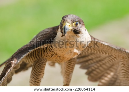 Small but fast predator wild bird falcon or hawk with spread wings close up shot - stock photo