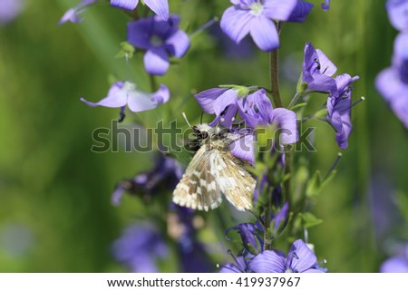 Small butterfly on blue flowers of Veronica