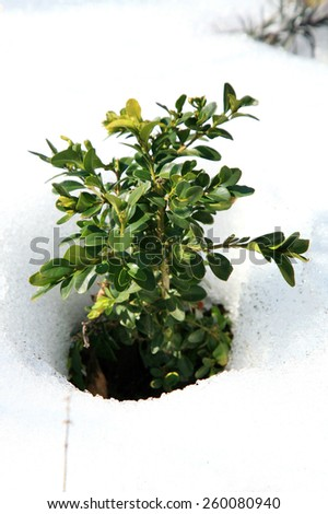 Small Buxus in snow, early spring in garden - stock photo